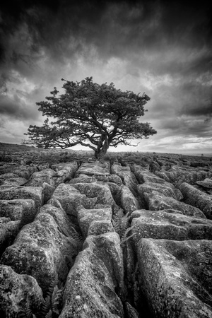 White Scar Tree, Ingleton. No# 2