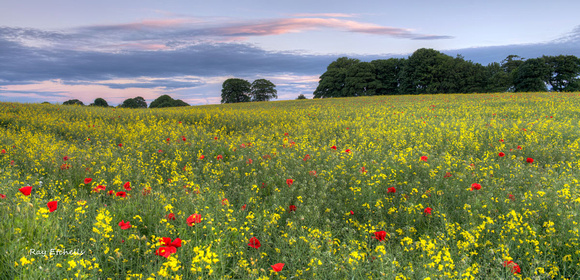 Poppies and Rapeseed
