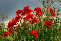 Backlit Poppies, Cornforth